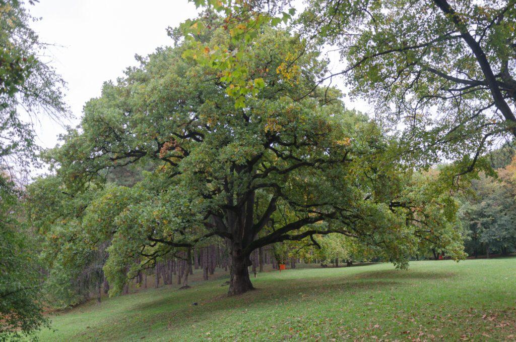 Stari hrast Kamenički park